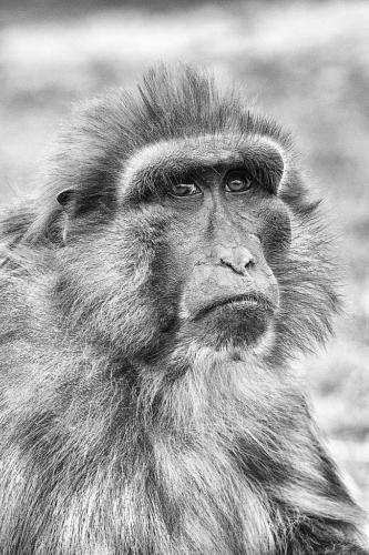 110ème  Macaque